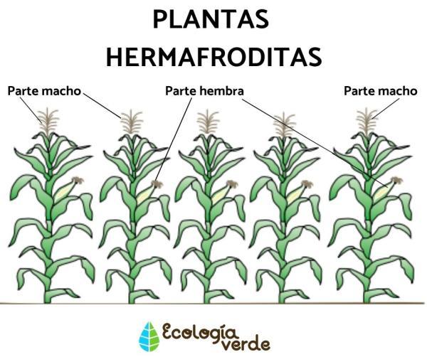 Plantas hermafroditas: qué son, características y ejemplos