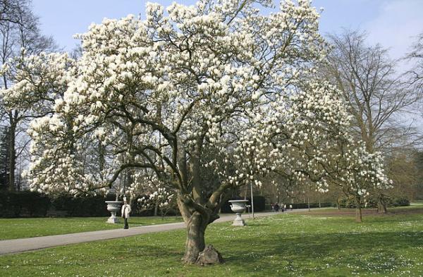 Árboles pequeños: nombres, características y fotos - Magnolia sieboldii