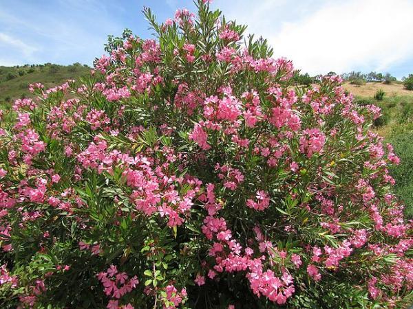 Árboles pequeños: nombres, características y fotos - Nerium oleander