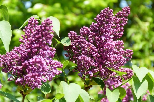 Árboles pequeños: nombres, características y fotos - Syringa vulgaris