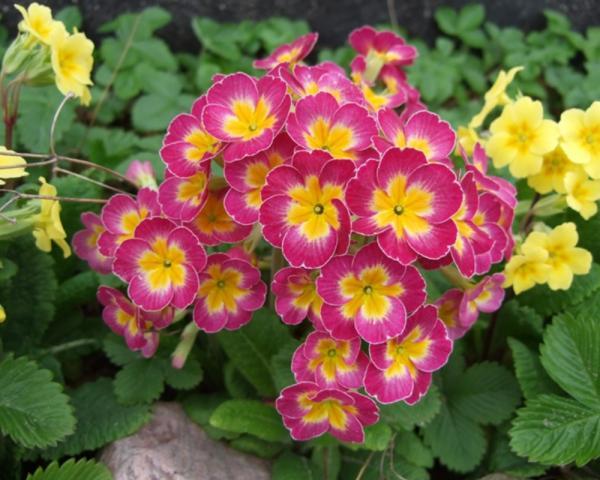 Plantas de invierno con flores para exterior - Prímula obcónica