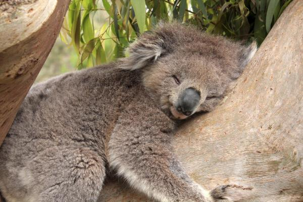Algunas curiosidades del reino animal - El koala y su pasión por dormir