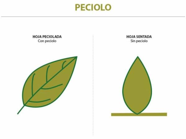 Tipos de hojas - Tipos de hojas según el pecíolo