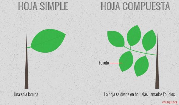 Tipos de hojas - Tipos de hojas según la división del limbo