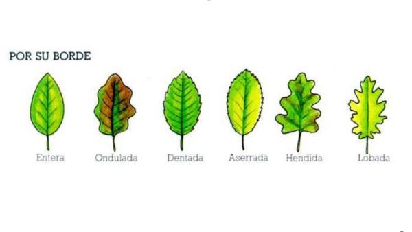 Tipos de hojas - Tipos de hojas según su borde