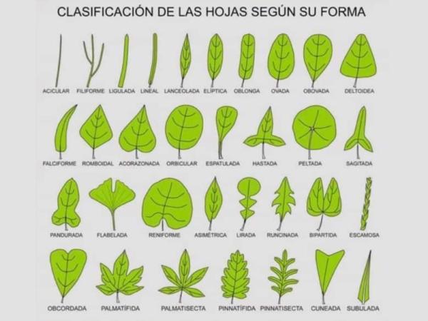 Tipos de hojas - Tipos de hojas según su forma