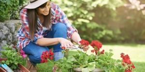 Cómo plantar esquejes de geranio