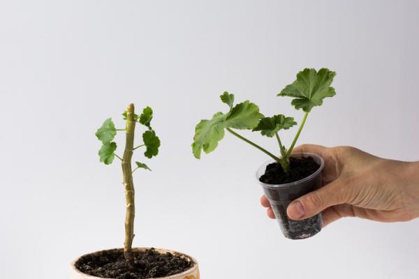 Cómo plantar esquejes de geranio - Cómo plantar esquejes de geranio paso a paso