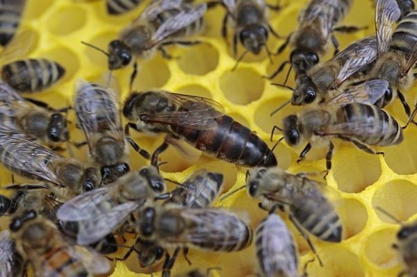 Función de las abejas - La función de la abeja reina