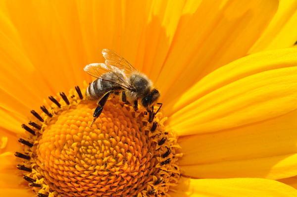 Función de las abejas - La función de las abejas obreras