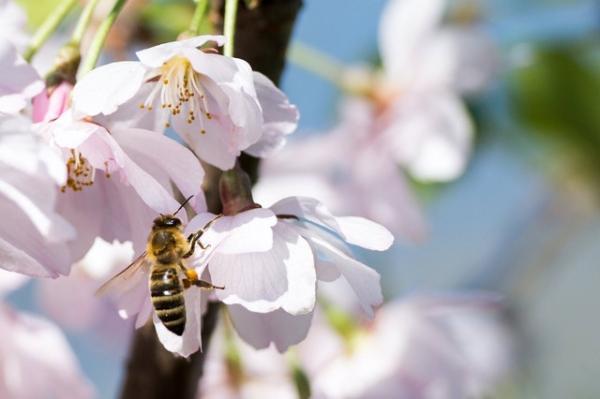 Por qué las abejas están en peligro de extinción - Por qué la abeja es un animal en peligro de extinción - las causas