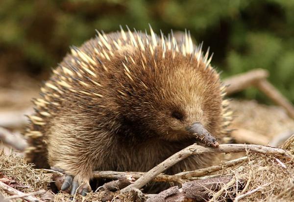Cuáles son los mamíferos que ponen huevos - Equidna de hocico corto (Tachyglossus aculeatus)