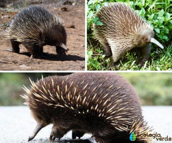 Cuáles son los mamíferos que ponen huevos - Equidnas de hocico largo (género Zaglossus)