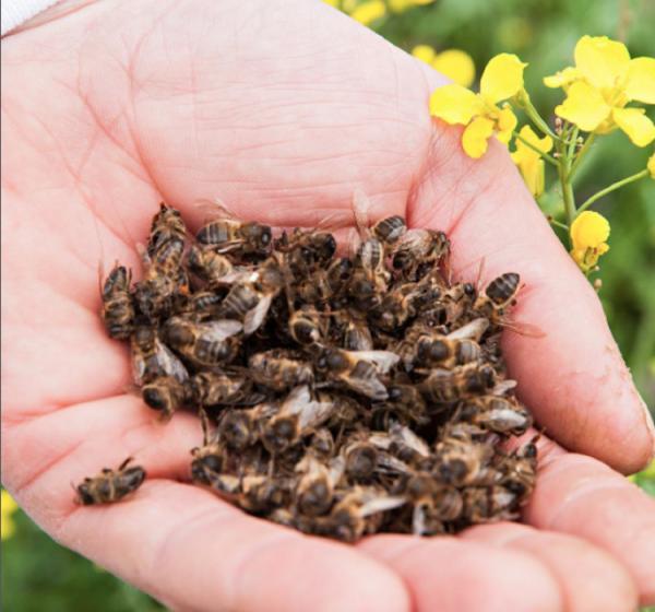 Qué son los neonicotinoides y su efecto en las abejas - Efectos de los neonicotinoides en las abejas