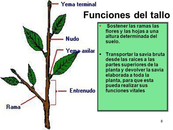 Tipos de tallos - Qué son los tallos de las plantas