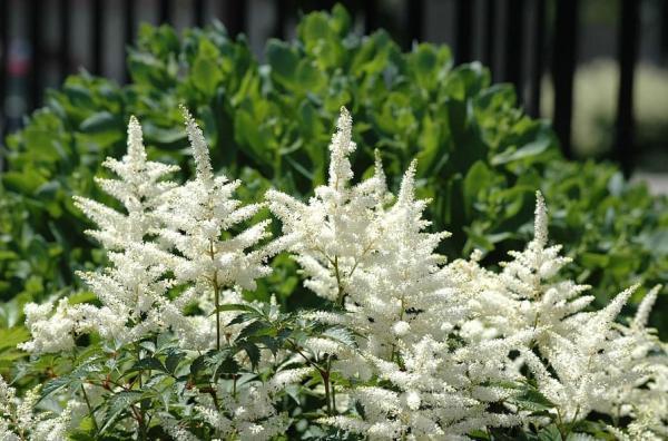 Plantas de exterior en maceta - El astilbe
