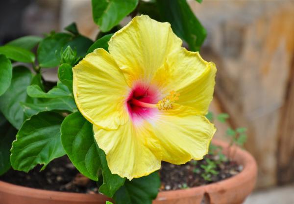 Plantas de exterior en maceta - El hibisco