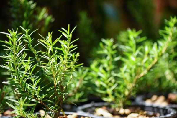 Plantas de exterior en maceta - El romero