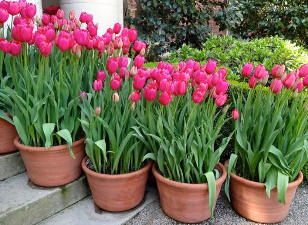 Plantas de exterior en maceta - El tulipán