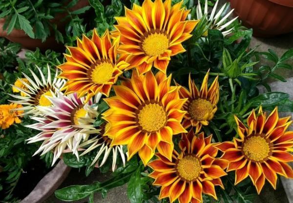 Plantas de exterior en maceta - La gazania