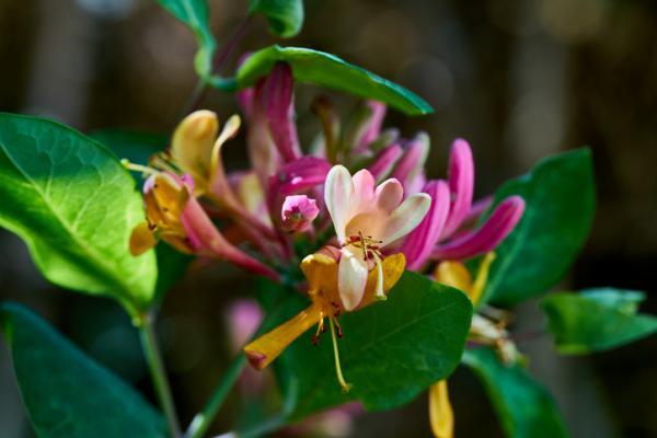 Plantas de exterior en maceta - La madreselva