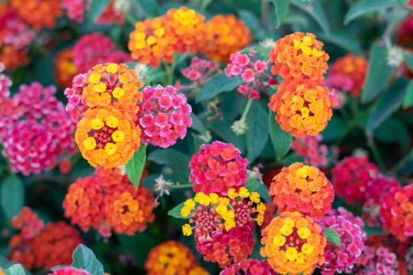 Plantas de exterior en maceta - La verbena