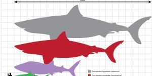 Por qué se extinguió el tiburón megalodón