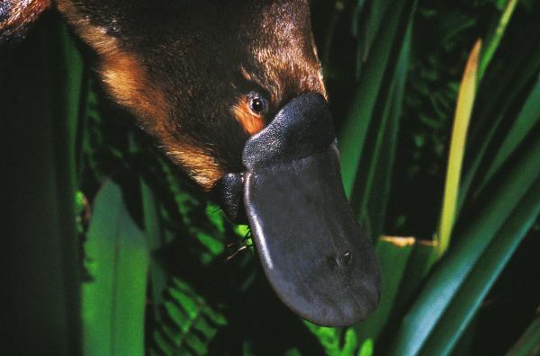 Animales en peligro de extinción por el cambio climático - Ornitorrincos