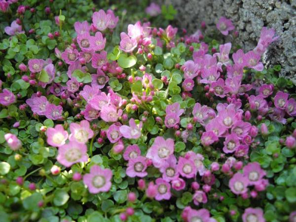 Flores silvestres: nombres y fotos - Anagallis o anagalis
