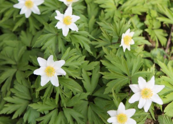 Flores silvestres: nombres y fotos - Anemone ranunculoides o anémona