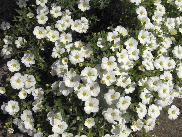 Flores silvestres: nombres y fotos - Arenaria montana o arenaria