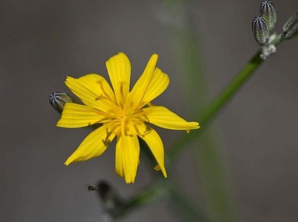 Flores silvestres: nombres y fotos - Chondrilla juncea o achicoria dulce