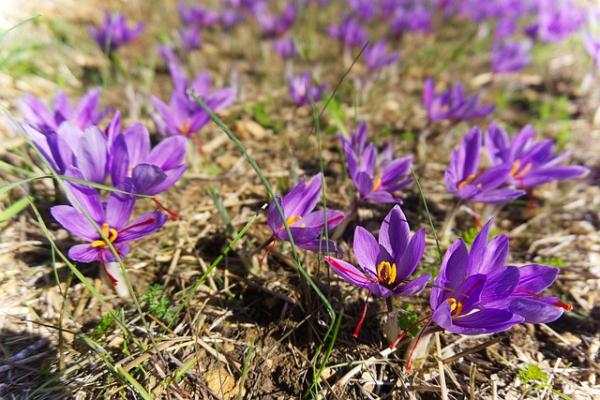 Flores silvestres: nombres y fotos - Crocus sativus o azafrán