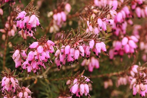 Flores silvestres: nombres y fotos - Erica erigena o brezo de Irlanda
