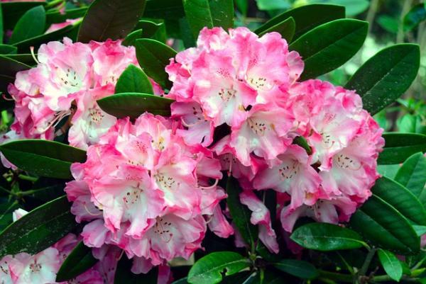 Flores silvestres: nombres y fotos - Rhododendron o rododendro