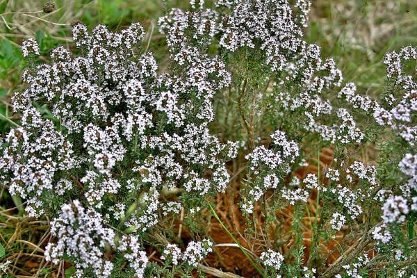 Flores silvestres: nombres y fotos - Thymus vulgaris o tomillo