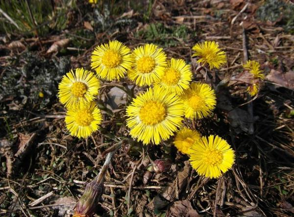 Flores silvestres: nombres y fotos - Tussilago farfara o pie de caballo