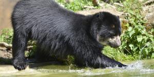 Por qué el oso de anteojos está en peligro de extinción