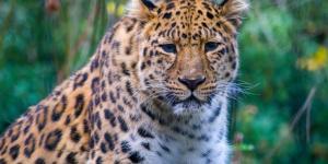 Por qué el leopardo del Amur está en peligro de extinción