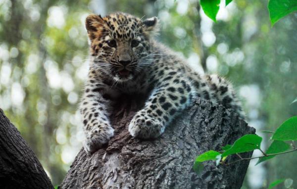 Por qué el leopardo del Amur está en peligro de extinción - Por qué el leopardo del Amur está en peligro de extinción - las causas