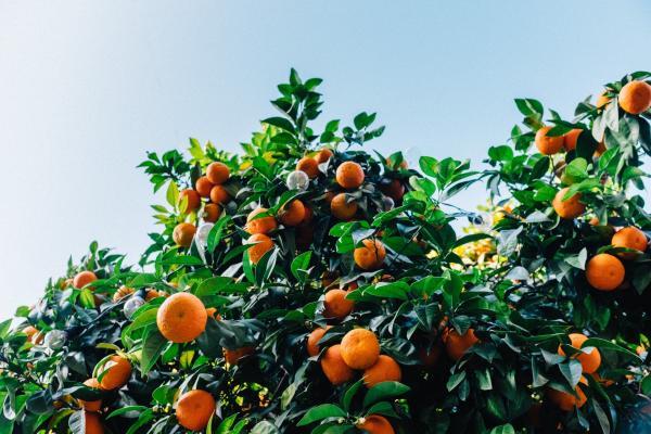 Cómo injertar un naranjo - Cuándo injertar los naranjos