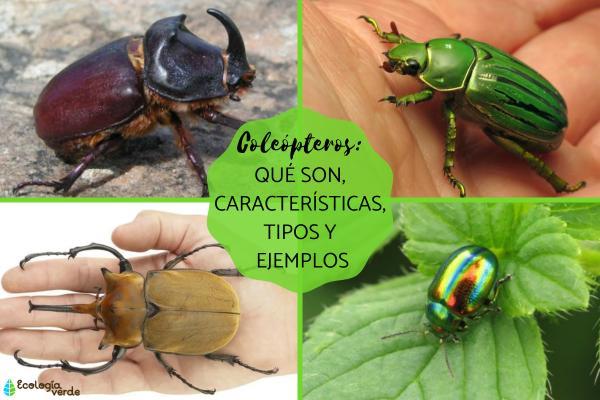 Coleópteros: qué son, características, tipos y ejemplos