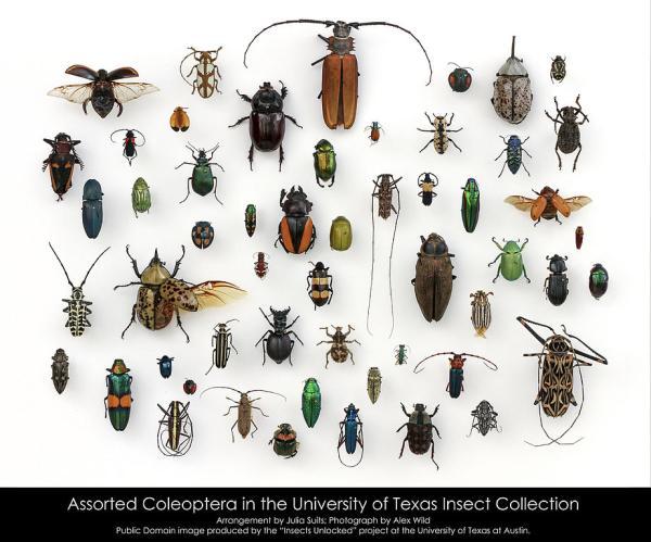 Coleópteros: qué son, características, tipos y ejemplos - Qué son los coleópteros