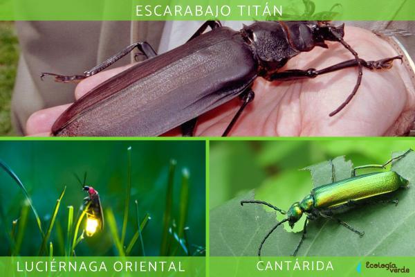 Coleópteros: qué son, características, tipos y ejemplos - Tipos y ejemplos de coleópteros