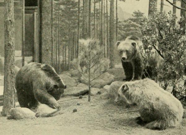 ¿Hay osos en México? - Oso gris mexicano
