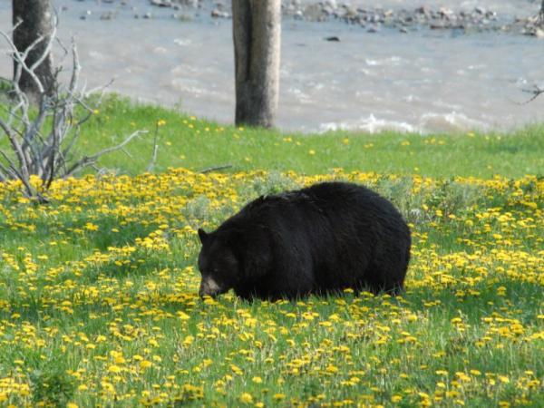 ¿Hay osos en México? - Oso negro