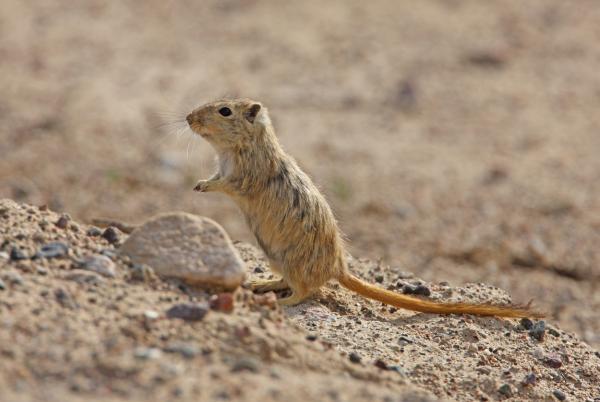 Animales que viven bajo tierra - Jerbo