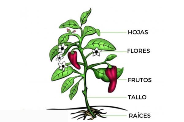 Partes del tallo y sus funciones - Funciones del tallo de las plantas