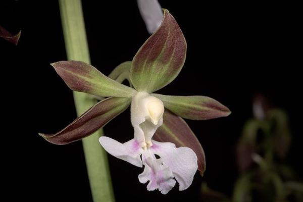 12 tipos de orquídeas - Orquídea Calanthe