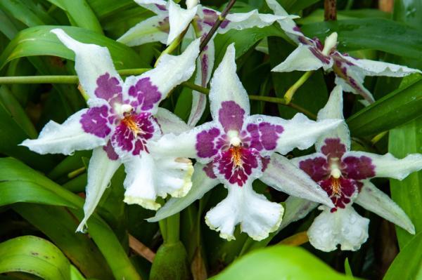 12 tipos de orquídeas - Orquídea Cambria